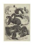 Prize Rabbits at the Crystal Palace Show