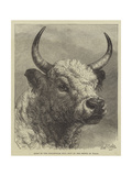 Head of the Chillingham Bull Shot by the Prince of Wales