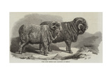 Pure Saxon Merino Rams  Exhibited at Breslau