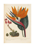 Cobweb Houseleek and Canna Leaved Strelitzia  1806
