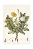 Leontoden Taraxacum from Flora Londinensis  1777-1798