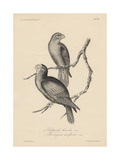 1 Psittacula Lineola and 2 Brotogeris Aurifrons  Litho by JT Bowen  1850