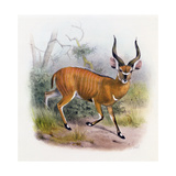 The Broad Horned Antelope  from 'The Book of Antelopes'