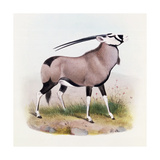 The Gemsbok  from 'The Book of Antelopes'