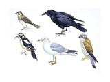 Birds: Skylark (Passeriformes