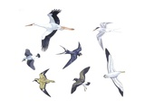 Birds: White Stork (Ciconiiformes