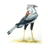 Birds: Secretary Bird