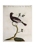 Cotinga or Thrush from the Indies (Cotinga Indica or Turdus Indicus Aliis)