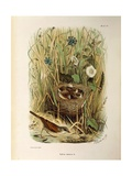 Illustration from Eugenio BettoniS Natural History of Birds That Nest in Lombardy Representing Whit