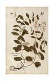 Honeysuckle (Lonicera Periclymenum) by Leonhart Fuchs from De Historia Stirpium Commentarii Insigne