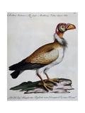 Indian Vulture or King of Vultures (Vultur Edw Elegans)