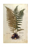 Male Fern (Dryopteris Filix-Mas) by Leonhart Fuchs from De Historia Stirpium Commentarii Insignes (