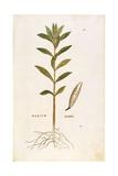 Oleander (Nerium Oleander) by Leonhart Fuchs from De Historia Stirpium Commentarii Insignes (Notabl