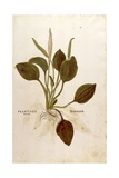 Plantain (Plantago Major) by Leonhart Fuchs from De Historia Stirpium Commentarii Insignes (Notable