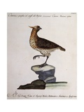 Rock Partridge or Crested Quail from Mexico (Coturnix Mexicana Cristata)