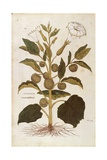 Thorn Apple or Jimson Weed - Datura Stramonium (Stramonia) by Leonhart Fuchs from De Historia Stirp
