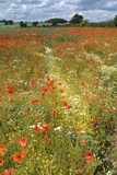 Wildflowers and Legumes on Set-Aside Field in Rural Landscape