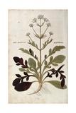 Valerian - Valeriana Officinalis (Phu Magnum) by Leonhart Fuchs from De Historia Stirpium Commentar