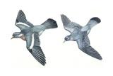 Birds: Columbiformes  Stock Pigeon or Stock Dove (Columba Oenas) and Wood-Pigeon (Columba Palumbus)