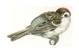 Birds: Passeriformes  Italian Sparrow (Passer Italiae) Sleeping with Head Hidden in Wings