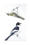 Birds: Passeriformes  Collared Flycatcher (Ficedula Albicollis) and Garden Warbler (Sylvia Borin)