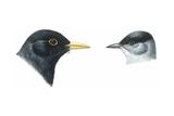 Birds: Passeriformes  Heads of Blackbird (Turdus Merula) and Blackcap (Sylvia Atricapilla)