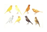 Birds: Passeriformes  Canaries (Serinus Canaria): Colourbred Canaries  Colour Mutations