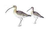 Birds: Charadriiformes  Eurasian Curlew (Numenius Arquata) and Whimbrel (Numenius Phaeopus)