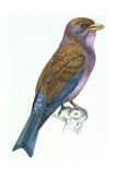 Birds: Coraciiformes  Racket-Tailed Roller (Coracias Spatulatus)
