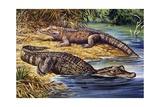 Dwarf Crocodile or Bony Crocodile (Osteolaemus Tetraspis)  Crocodylidae
