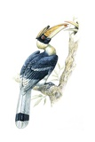 Birds  Coraciiformes  Great Hornbill  (Buceros Bicornis)  Male Feeding  Female Sitting on Nest