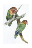 Birds: Psittaciformes  Couple of Fischer's Lovebird (Agapornis Fischeri) Feeding