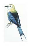 Birds: Coraciiformes  Blue-Bellied Roller (Coracias Cyanogaster)