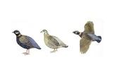 Birds: Galliformes  Black Francolin  (Francolinus Francolinus)  Male and Female