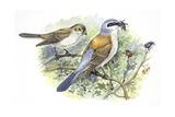 Birds: Passeriformes  Couple of Great Grey Shrike (Lanius Excubitor)