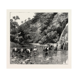 The Chin Lushai Expeditionary Force  a Mule Convoy Crossing the Loung Gut Choung Stream  1890