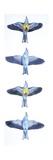 Birds: Coraciiformes  European Roller (Coracias Garrulus)  Courtship  Rolling in Flight Stages