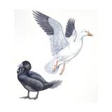 Birds: Anseriformes  Snow Goose (Chen Caerulescens) and Musk Duck (Biziura Lobata)