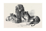 Family of Lions in the Gardens of the Clifton and Bristol Zoological Society