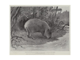 Studies from Life at the Zoological Gardens  the Capibara  or Carpincho  of South America
