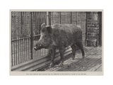 Wild Boar  Removed from Windsor Park and Presented to the Zoological Society by Hm the King