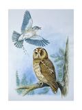 Fieldfare (Turdus Pilaris) Splashing its Droppings Against Tawny Owl (Stix Aluco) to Defend its Ter