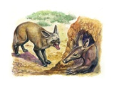 Bat-Eared Fox (Otocyon Megalotis) Trying to Get into Termite Mound Which Was Discovered by Aardvark