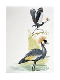 Close-Up of a Grey Crowned Crane (Balearica Regulorum) with a Black Crowned Crane (Balearica Pavoni
