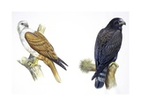 Birds: Falconiformes  Brahminy Kite (Haliastur Indus) and Zone-Tailed Hawk (Buteo Albonotatus)