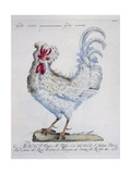 Domestic Chicken (Gallus Gallus)  Coloured from History of Birds  1767  Table 215