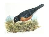 Birds: Passeriformes  American Robin (Turdus Migratorius) Catching Insects