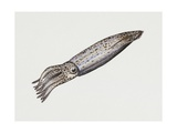 Common Squid or Sea Arrow (Loligo Vulgaris)  Loliginidae  Artwork by Rebecca Hardy