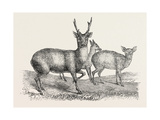 The Earl of Derby's Menagerie  at Knowsley  Uk: Male and Female Hog Deer