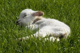 Welsh Mountain Sheep: Day-Old Lamb Sleeping in Field  Nicholaston  Gower  SWales  Uk